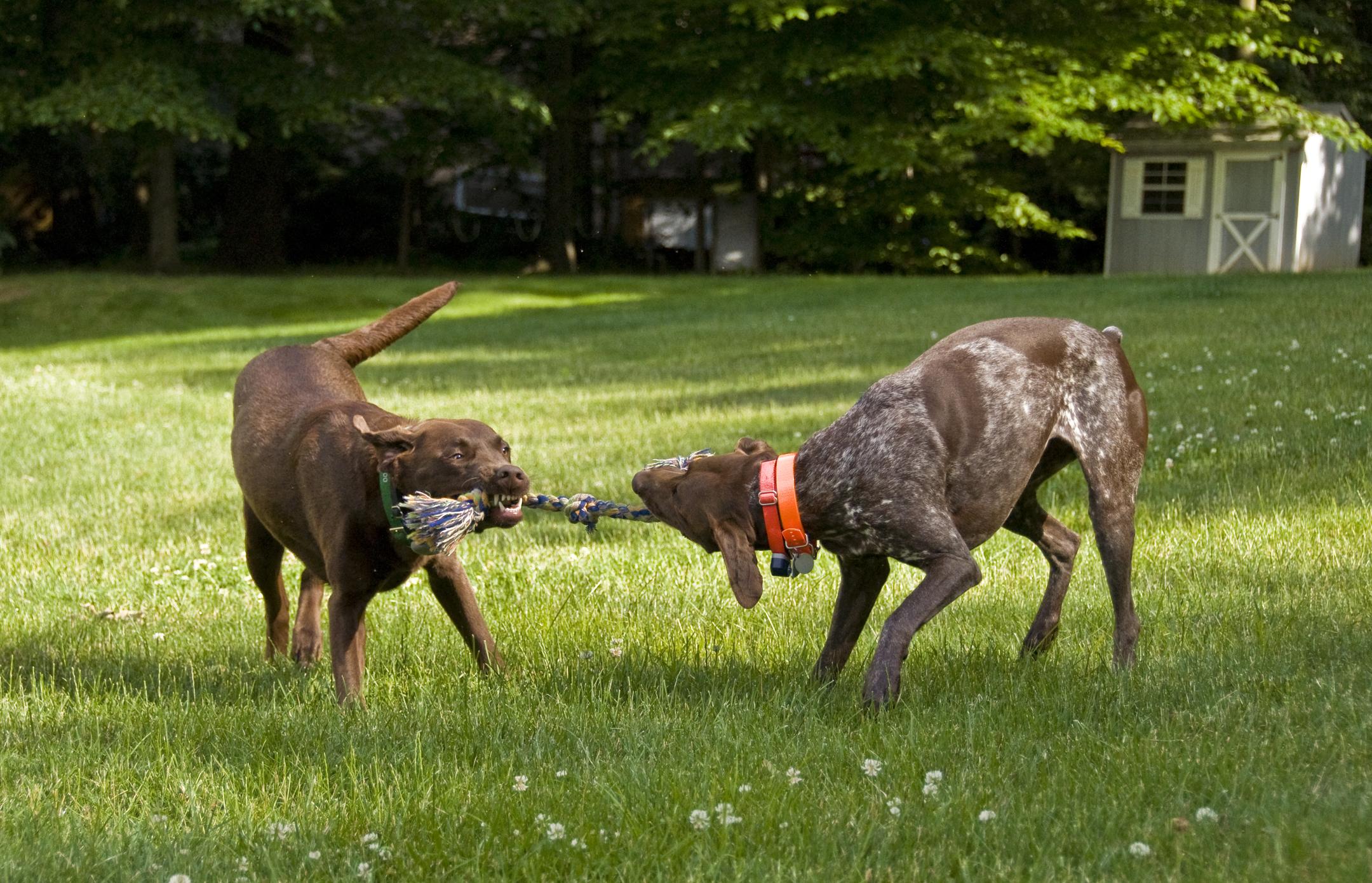 Do Dogs Like To Play Tug Of Wat