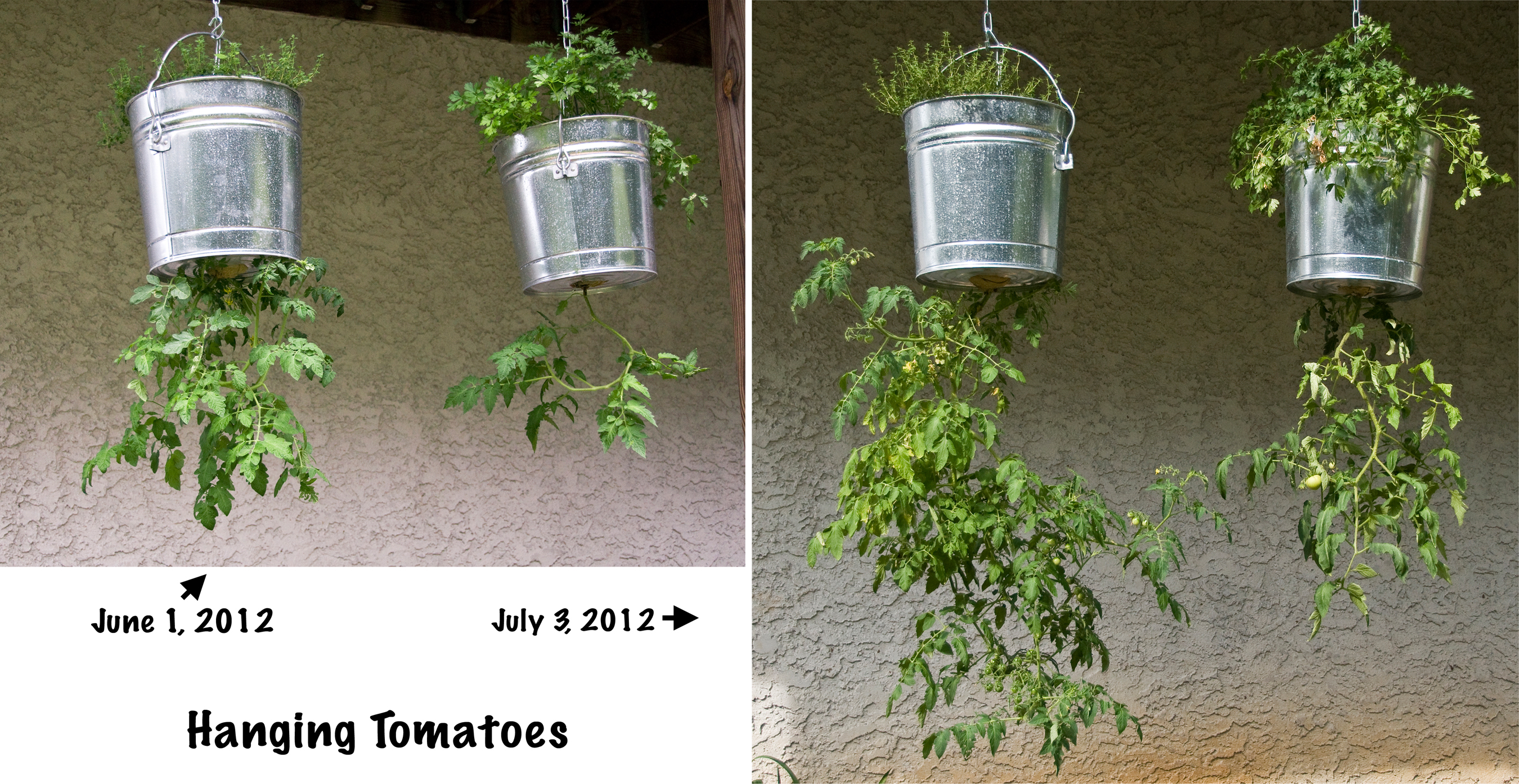 Growing cherry tomatoes in pots - Hanging Tomatoes Now And Then