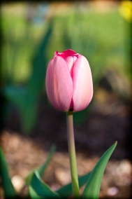 Changing Seasons: Tulip