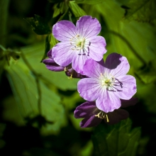 Wild Geraniums on the 4.25 mile hiking trail