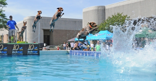 Bailey the Little GSP competing in Big Air