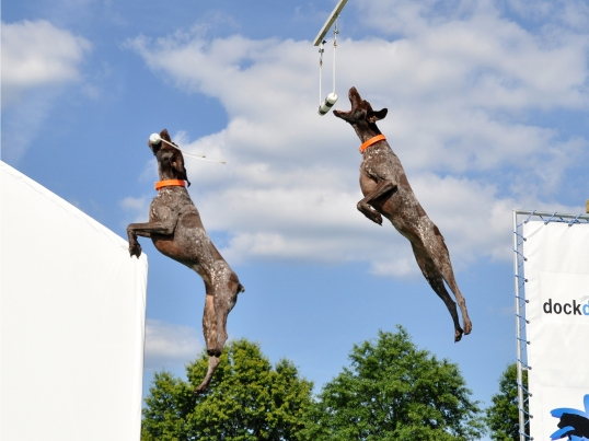 Bailey the Little GSP competing in Extreme Vertical