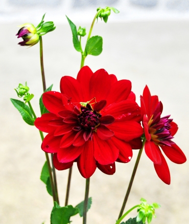Red Dahlia with a grasshopper (Summer 2012)