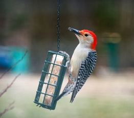 Red-Headed Woodpecker (February 2013)
