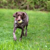 Bailey with a Tennis Ball