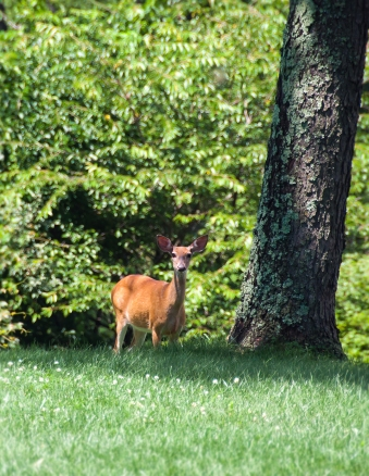 Oh hello, deer in the front yard