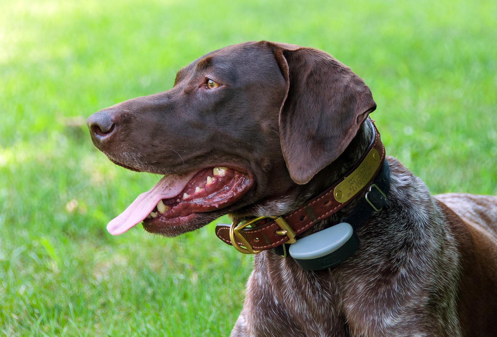 Beagle German Shorthaired Pointer Mix German Shorthair Pointer | Dog ...