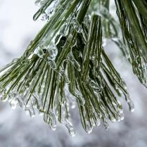 Icy Pine Needles