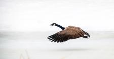 Goose across the ice