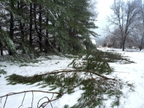 Pine Tree damage in the ice storm