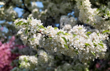 Crabapple Blossoms, 2012