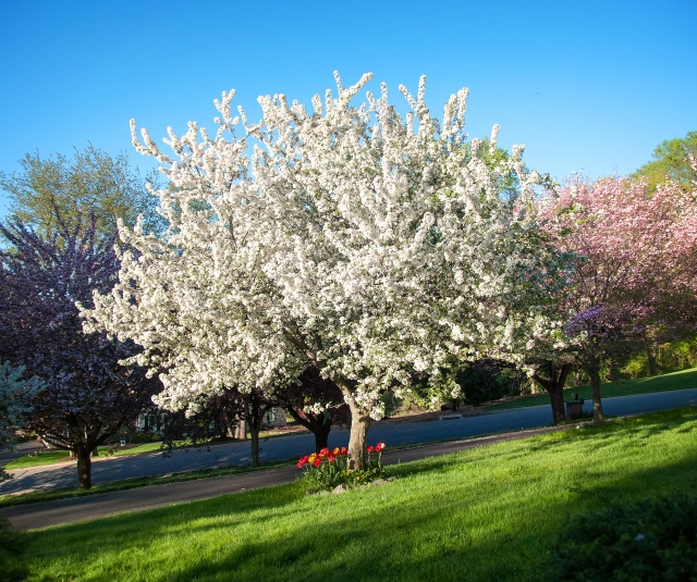 White Crabapple Tree