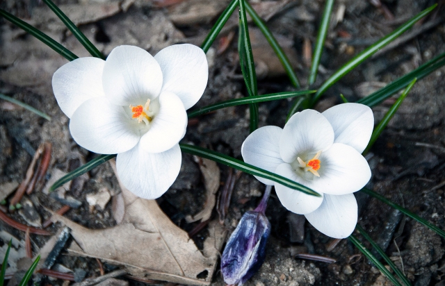White Crocuses... they'll be blooming in just a few weeks!!!!