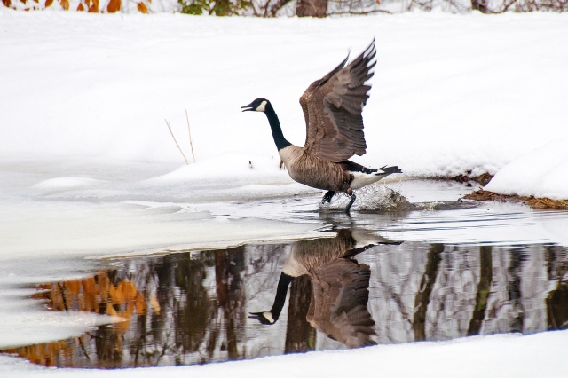 Canadian Goose Reflection