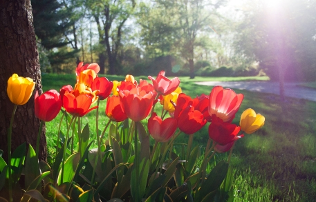 1: Tulips Last Year