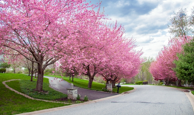 Cherry Blossom-lined street