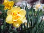 Crazy Daffodil