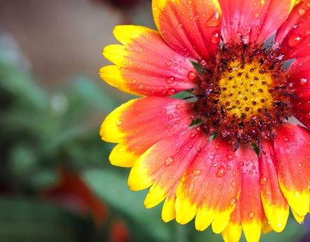 Blanket Flower (8/10/14)