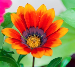 Gazania Flower (7/1/14)