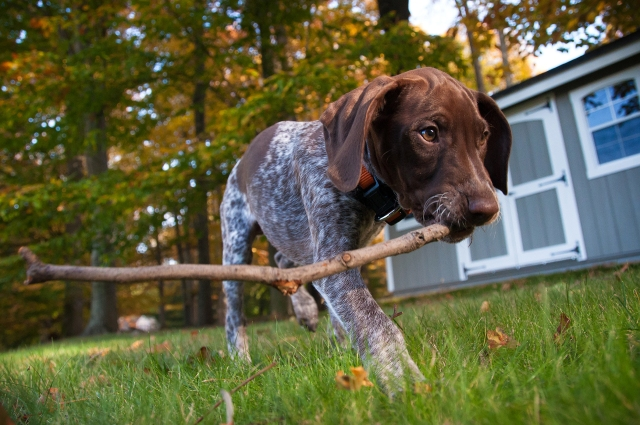 Our new GSP puppy Piper