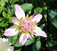 Pink-Tipped Dahlia Bud (9/22/14)