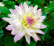 Pink-Tipped Dahlia (9/22/14)