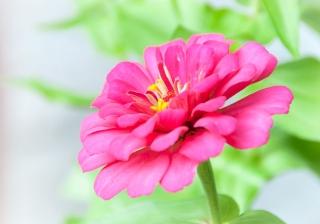 Pink Zinnia (7/1/14)