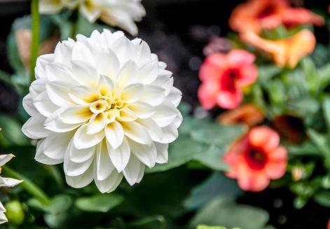 White Dahlia (5/18/14)