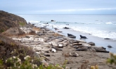 Elephant Seals EVERYWHERE!