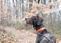 Piper in her new Gentle Leader (December)