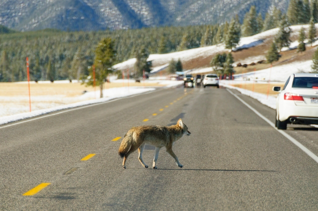 Coyote Crossing the Road
